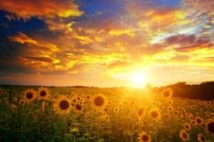 sunflower-sunrise-e1342117649216